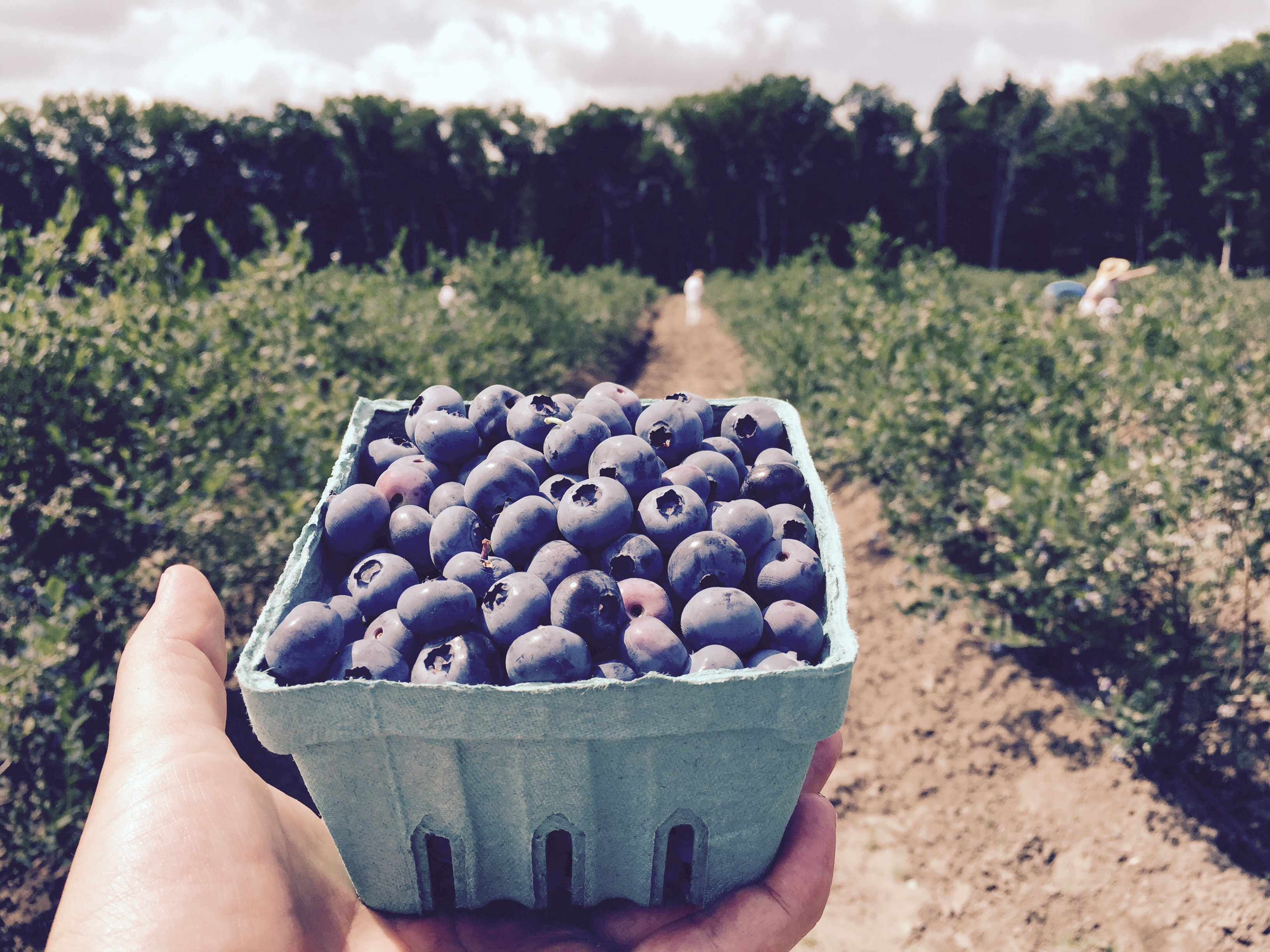 Blueberry Picking At Dimeo Farms In New Jersey