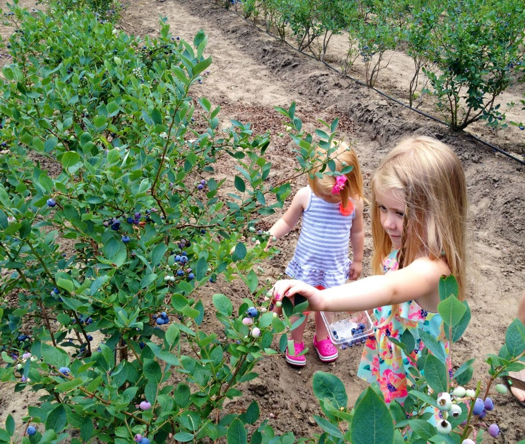Blueberries fresh from the berry farms