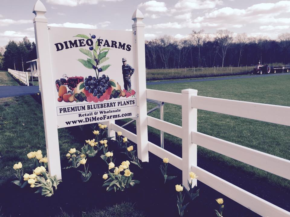 Grow your own blueberries with DiMeo's large blueberry plants for sale now blueberry farmer direct from our New Jersey blueberry farm