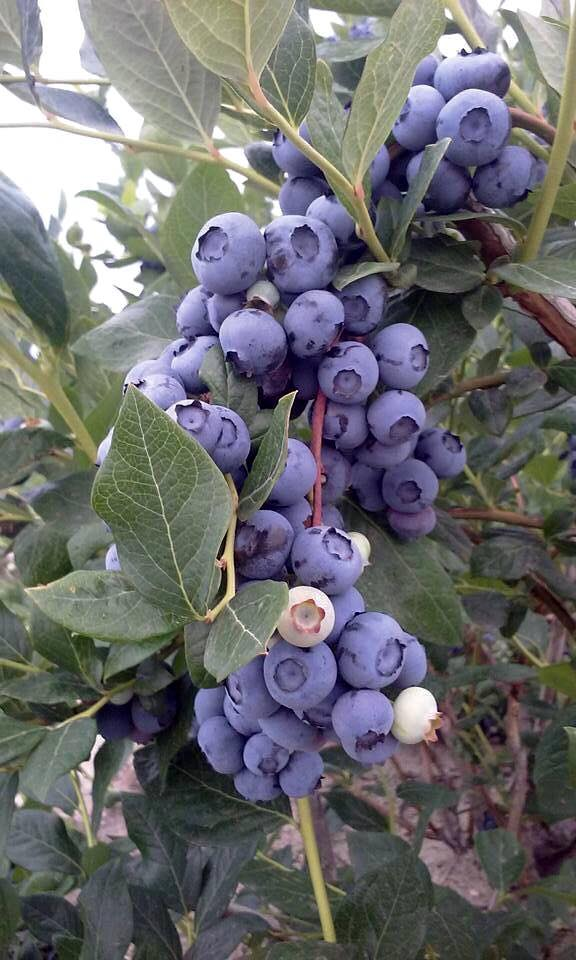 Blueberries Bushes for Sale by DiMeo Farms in New Jersey