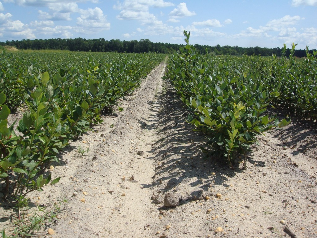 Blueberry Plants for Sale by DiMeo's Blueberry Farms in New Jersey