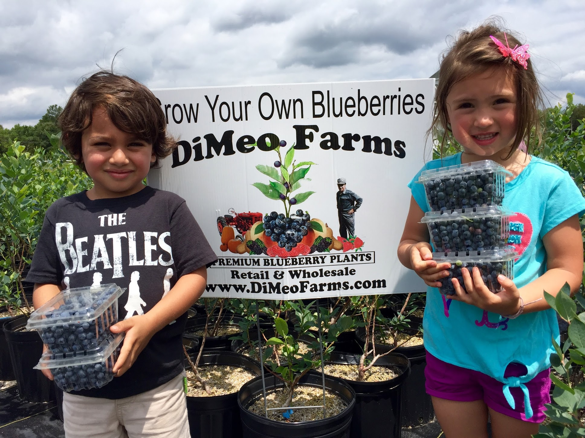 Planting blueberries blueberry plant with tail gl blueberry emerald